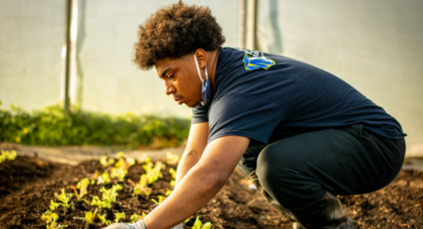 Young man planting lettuce in greenhouse.